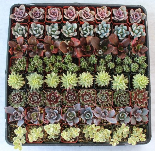 Jiimz 80 Lovely Succulents for Wedding Party Favors by jiimz (Image #3)