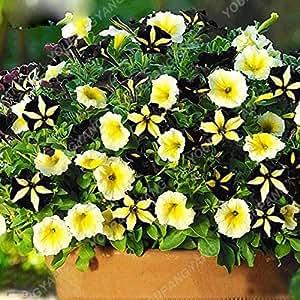 200pcs Bonsai color mezclado Petunia Semillas Flores hermosas por plantas del jardín de flor de la petunia Bonsai Semillas fácil de cultivar plantas verdes