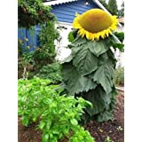 "Sunflower ""Mongolian Giant"" Largest Sunflower In The World - Great For Eating!"