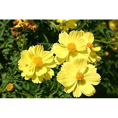 Cosmos Sulphur Dwarf Lemon Yellow Flower Seeds, 100+ Premium Quality Seeds, 90% Germination, Vibrant Bright Yellow Color! Exotic Beauty!, (Isla's Garden Seeds), Cosmos Sulphureus : Garden & Outdoor