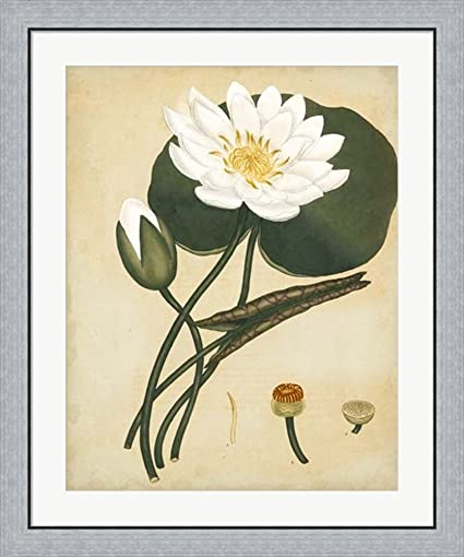 Amazon.com: White Water Lily by Henry Andrews Framed Art Print Wall ...