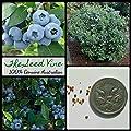 20+ Organic Blueberry Seeds (Vaccinium corymbosum) Heirloom Non GMO Super Food