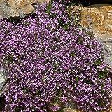 Saponaria Flower Garden Seeds - Rock Soapwort - 4 Oz - Perennial Flower Gardening