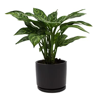 Houseplant Homestead Chinese Evergreen Tigress, Aglaonema, Green Gray Tiger Striped Leaves, Live Indoor Tropical Plant (with Black Ceramic Pot) : Garden & Outdoor