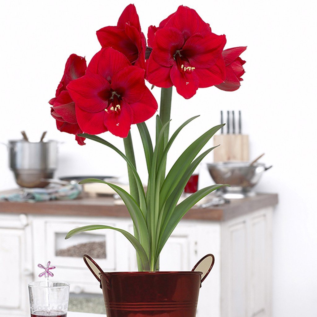 Van Zyverden Amaryllis Kit Red Lion With Artisan Decorative Planter
