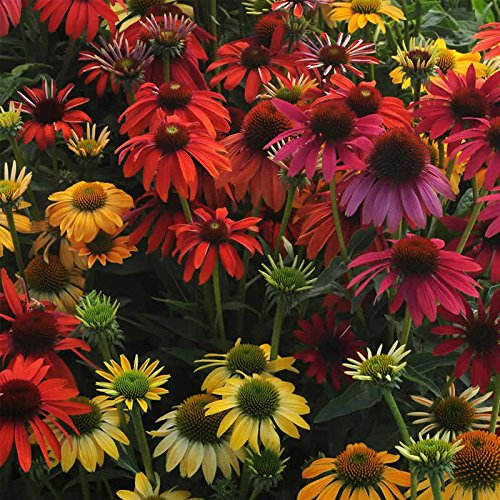 Grow Purple Coneflower - Cheyenne Spirit Echinacea Flower Garden Seeds (Purple Coneflower) - 100 Seeds - Perennial Flower Gardening Seed - Echinacea purpurea