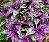 "Persian Shield Plant - Strobilanthes - Iridescent Purple - Inside/Out - 4"" Pot"