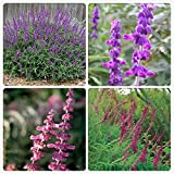 Best Garden Seeds Salvia Leucantha Imported Mexican Bush Sage Pink Flower Seeds, Professional Pack, 30 Seeds for new years / Pack, Bushy Shrub