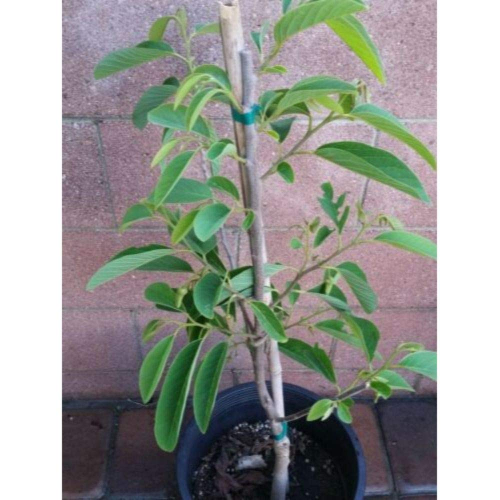 Atemoya Tropical Fruit Trees 3-4 feet Height in 5 Gallon Pot #BS1 by iniloplant (Image #2)