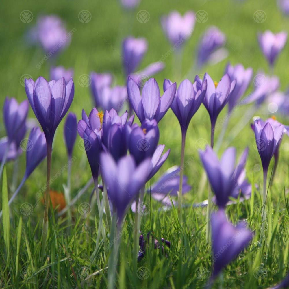 Crocus Conqueror Early Spring Flowering Garden Bulbs 5 Bulbs
