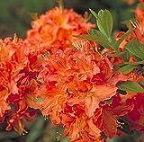 "Mandarin Lights Deciduous Exbury Azalea - Very Hardy - 2.5"" Pot"