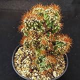 Cereus peruvians monstrose Cactus Cacti Real Live Succulent Plant
