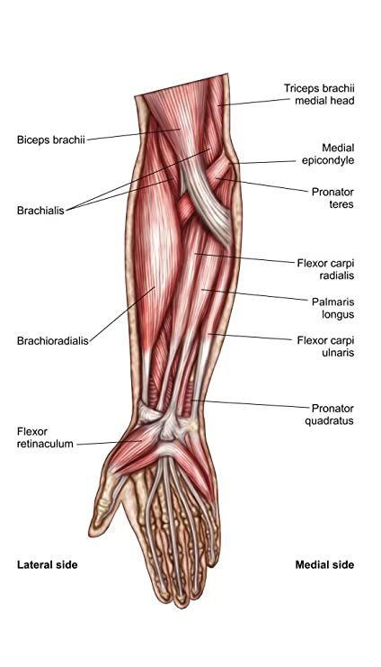 Amazon Anatomy Of Human Forearm Muscles Superficial Anterior