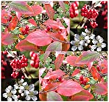 4 Packs x 20 Red Chokeberry - Aronia arbutifolia Brilliantissima - Seeds ~ CRIMSON LEAVES With Berries That Are HIGH In Vitamin C - STANDS ONLY 6 - 10 FEET TALL - Hardy In Zones 4 - 9 - By MySeeds.Co