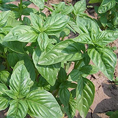 Basil Seeds for Yard Gardening Plant, 100Pcs Basil Seeds Herb Fragrant Ocimum Plant Cooking Spices Home Garden Bonsai - 100pcs Basil Seeds by Mosichi : Garden & Outdoor