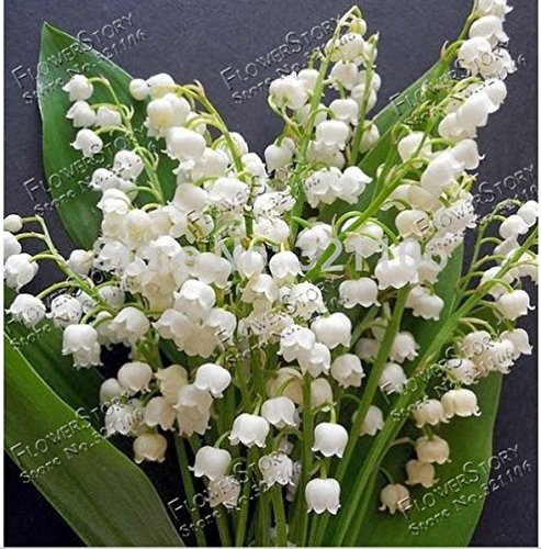 20 Pcs Lily of the Valley Flower Seeds , Bell Orchid Seeds,rich Aroma ,Bonsai Flower Seed, so Cute and Beautiful