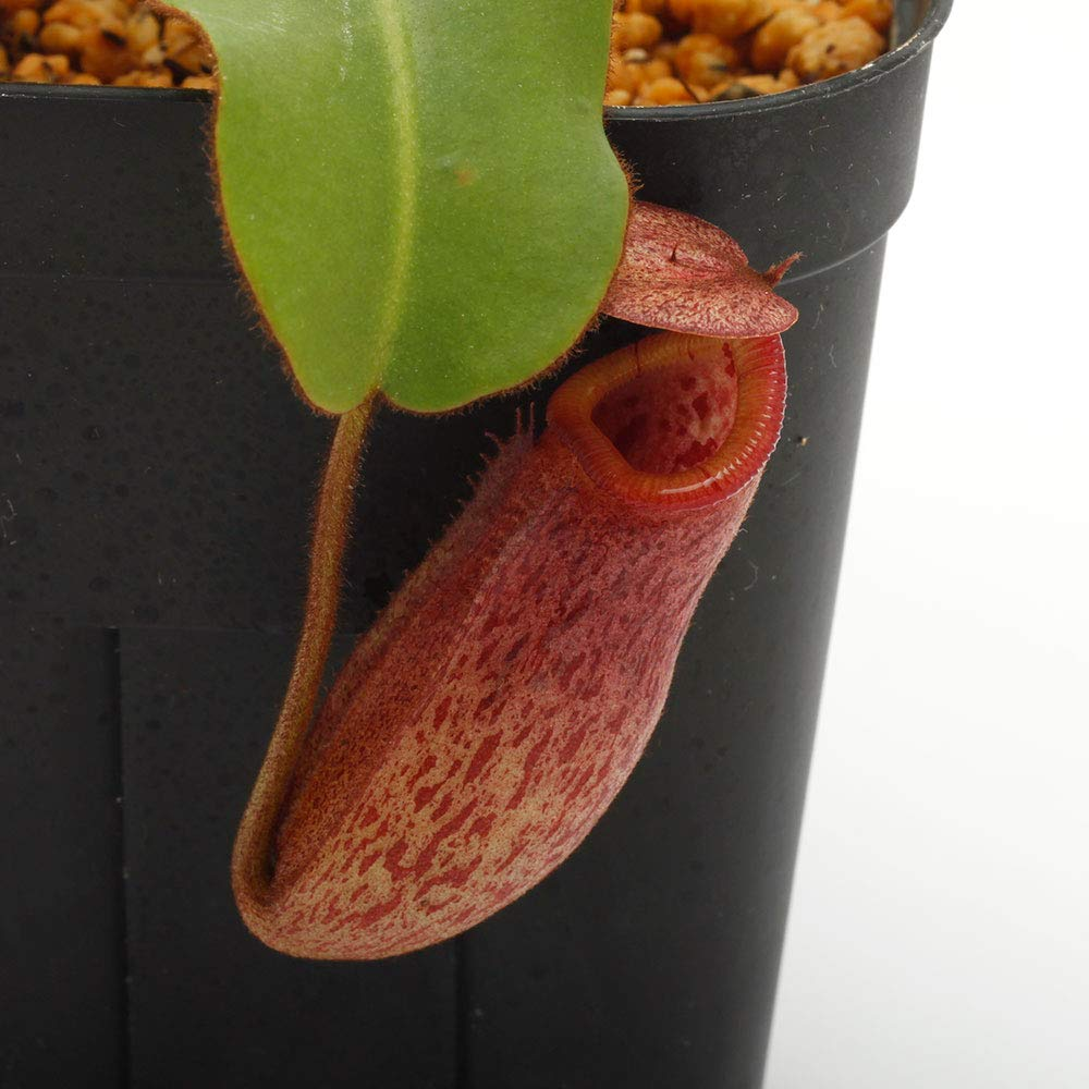Nepenthes rajah x (burbidgeae x edwardsiana) [ ネペンテスラジャ×(バービッジアエ×エドワードシアナ) ] 【 Borneo Exotics/BE-3902 / (Lot No: B1211) 】【 PN190122-53 】 B07RYGPHVC