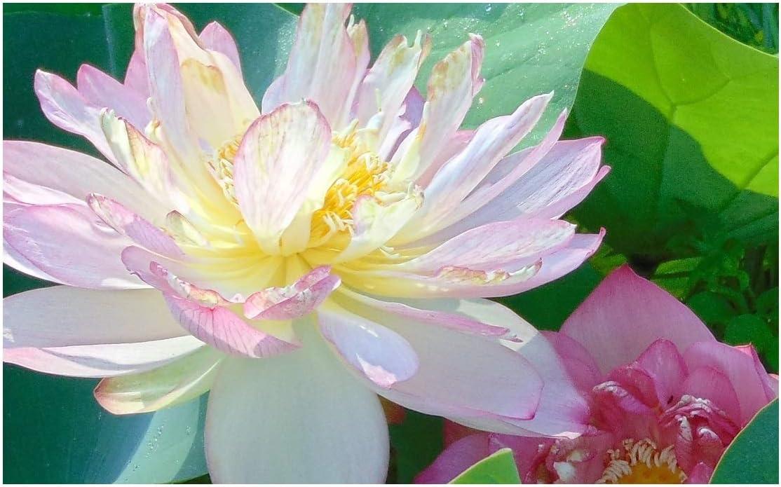 Amazon Com Beautiful Dancer Pink Oriental Lotus Live Aquatic