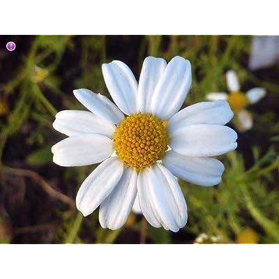 50 Deeds, Bidens Pilosa Alba Medicinal Butterflies Garden Plant Romerillo : Garden & Outdoor