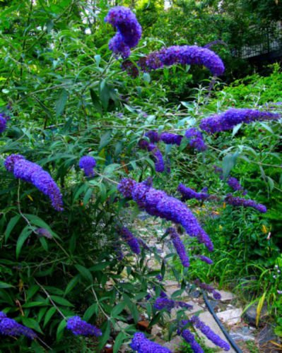 50 + Seeds of Purple Butterfly Bush! BEAUTIFUL COLOR!