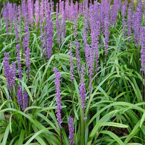 Liriope Grass Big Blue Shrub Plants Big Blue Monkey