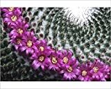 Photographic Print of Flowering pincushion cactus. Mammillaria huitzilopochtli. Native to Oaxaca