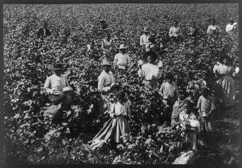 Photo: Cotton field,African Americans picking cotton,c1907,women,men,children