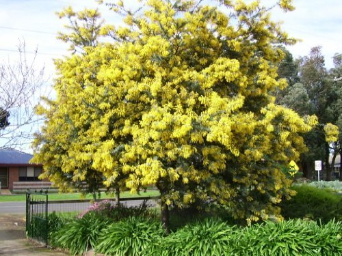 Amazon 10 Golden Mimosa Acacia Baileyana Yellow Wattle Tree