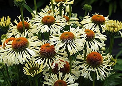 Echinacea 'Ferris Wheel' Flower Seeds, 100 Seeds / Pack, New Coneflower 100% True Variety KK085