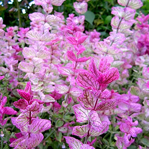 (Clary Sage Seeds - Pink Sundae - Packet, Pink Flowers)