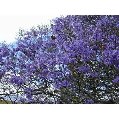 Blue Jacaranda Tree 20+ Seeds : Tree Plants : Garden & Outdoor