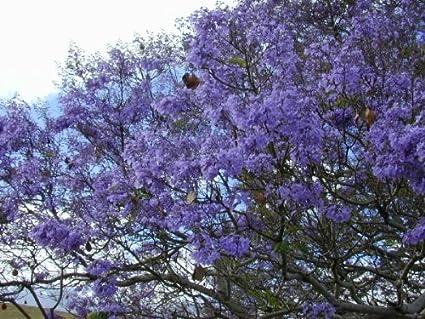 Amazon Com Blue Jacaranda Tree Seeds Tree Plants Garden Outdoor