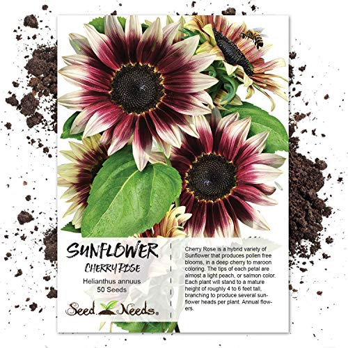 Seed Needs, Cherry Rose Sunflower (Helianthus annuus) 50 Seeds