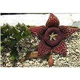 Stapelia variegata - Carrion cactus - Starfish Cactus – 3 seeds
