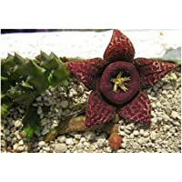 Exotic Plants Stapelia variegata - sinónimo: Orbea variegata - 3 Semillas