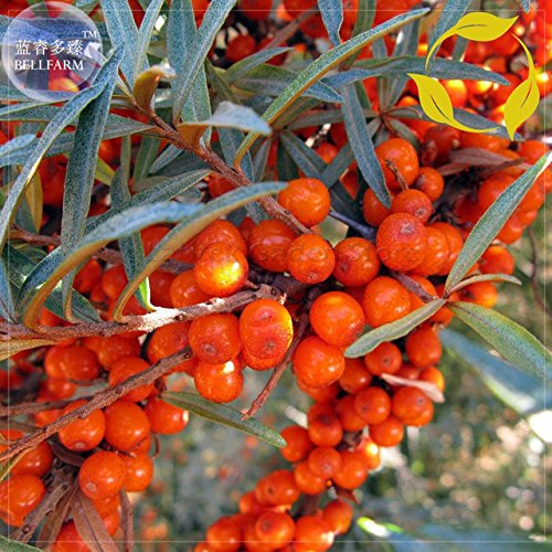 Best Garden Seeds Rare Shrub seeds of Sea buckthorn berries, seeds 20, Professional Service Pack, Sandthorn Small Tree Swallow Plug E4077 ()