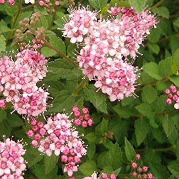 1 X SPIRAEA JAPONICA /'LITTLE PRINCESS/' DECIDUOUS SHRUB HARDY GARDEN PLANT IN POT