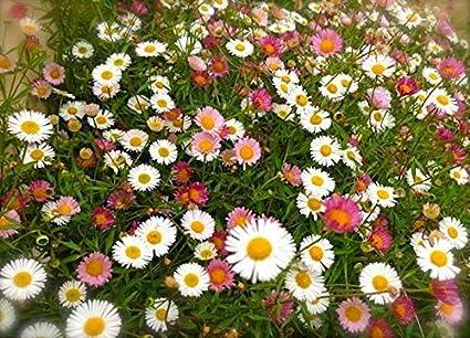 Anitra Perkins Spanisches Ganseblumchen Samen Berufkraut Bodendecker Mauerblumchen Wildblumen Samen Winterhart Mehrjahrig Fur Ampeln Balkon Rabatten Steingarten 10 Amazon De Garten