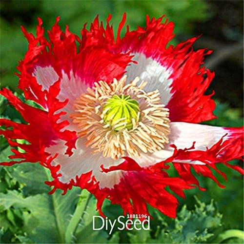 Semillas de cobre hierba Oficina semillas mesa para macetas de Bonsai Semillas plantas del jardín de semillas de la hierba anual de la hierba 100 partículas / lot T017: Amazon.es: Jardín