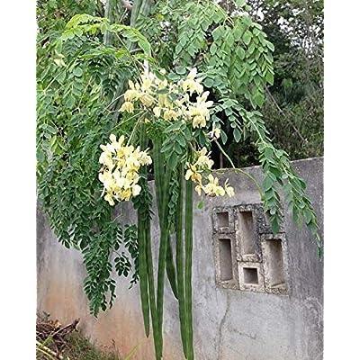 100 Moringa oleifera seeds,Horseradish Tree, Drumstick tree, Fresh harvested Organic: Kitchen & Dining