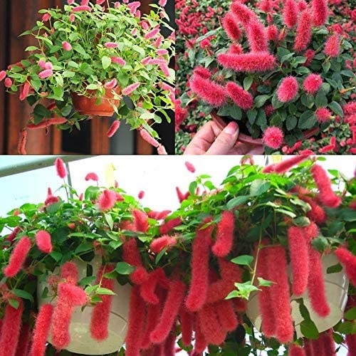 Rarität Exotische Katzenschwänzchen Acalypha Hispida Reptans PendulaBlumensamen, Strauch Pflanzensamen Paradiesnessel Nesselschön Zimmerpflanze Saatgut Feurig-rote Blüten Outdoor Bonsai