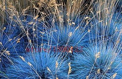 100 pcs BLUE FESCUE Fesnea Glauca Ornamental Grass perennial hardy ornamental beautiful grass 2015 new seeds for home garden