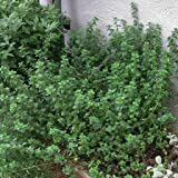 English Thyme Thymus vulgaris live plant 3 plants, to shop for more plant