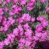 50 Dianthus Cheddar Pink Flower Seeds Dianthus Gratianopolitanus