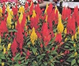 Only Heirlooms Celosia Cockscomb Plumosa Mix 200 Seeds Garden Flowers