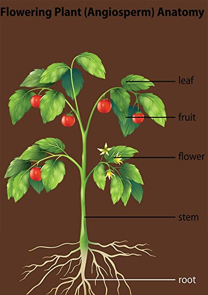 Flowering Plant (Angiosperm) Anatomy Diagram Poster Wall Art School ...
