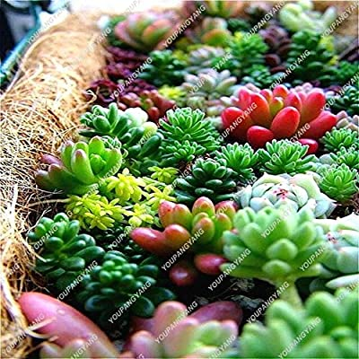 100pcs/bag Mix Echeveria Species Succulents Bonsai Indoor Plants Flowers Gorgeous Array of Colors Bonsai Bonsai Flower for Garde
