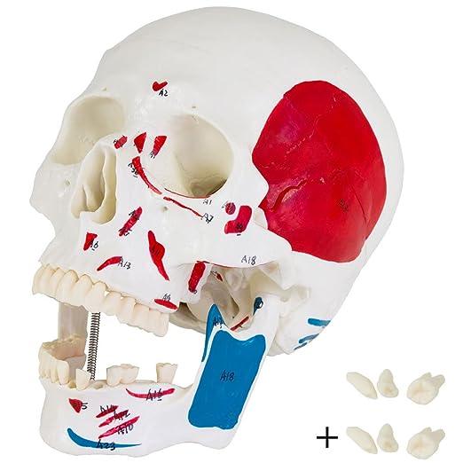 Schädel Skelett Anatomie Modell Muskelaufbau Muskeldarstellung ...