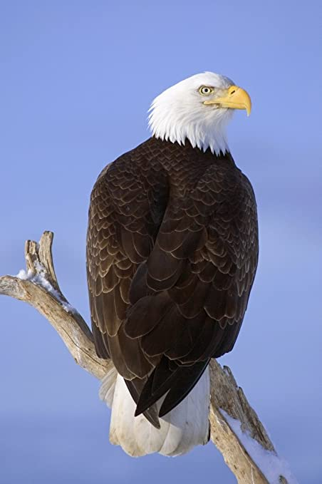amazon com bald eagle perched on tree branch homer spit kenai