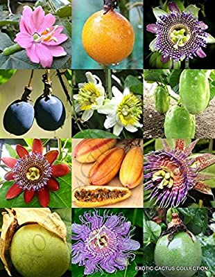PASSIFLORA mix - PASSION FRUIT exotic edible tropical flower vine seed 25 seeds